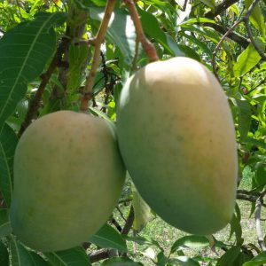 Gir-Kutchch Kesar Mangoes