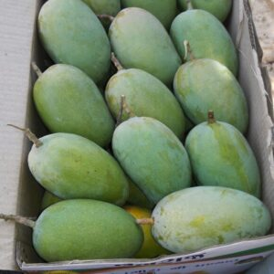 Gir-Kutcch Kesar Mangoes